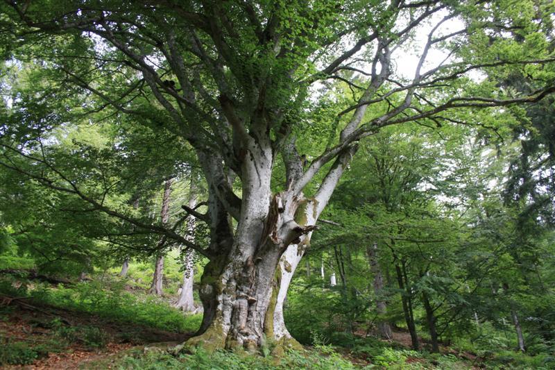 Baum ID 27153